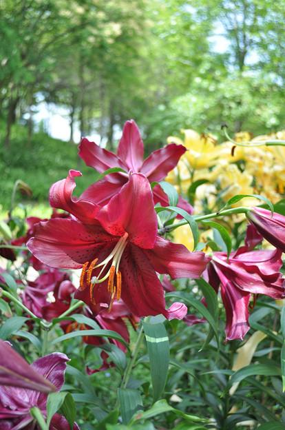 夏の花 ユリ・マンボ