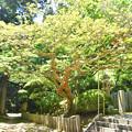 常隆寺 本堂前の老木