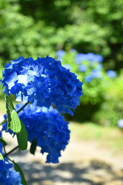 Photos: あわじ花の歳時記園 てまり咲アジサイ