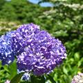 あわじ花の歳時記園 てまり咲アジサイ
