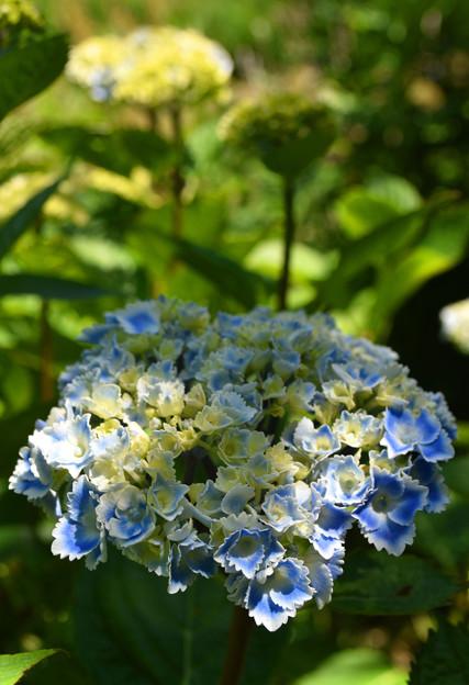 あわじ花の歳時記園 ガクアジサイの改良品種