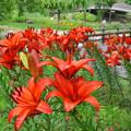 初夏の花 ユリ(AH)