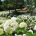 Photos: 初夏の花 アナベル