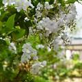 白花のデュランタ