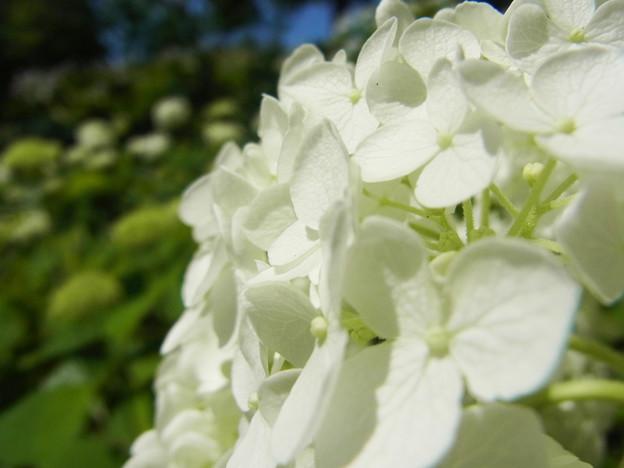 Photos: アメリカ・ノリノキ 純白の花アナベル