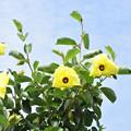 黄色いハマボウ