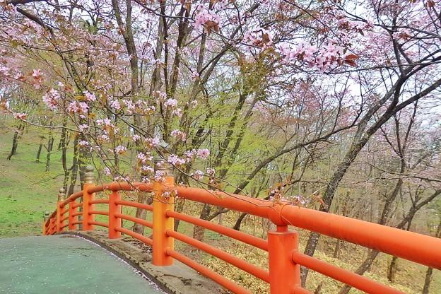 新得神社桜1