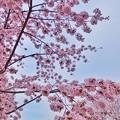 桜六花公園の桜1