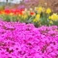 清水公園の芝桜