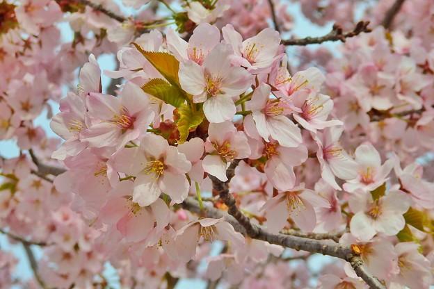 桜六花公園の桜2