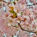 Photos: 桜六花公園の桜2