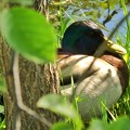 Photos: Duck
