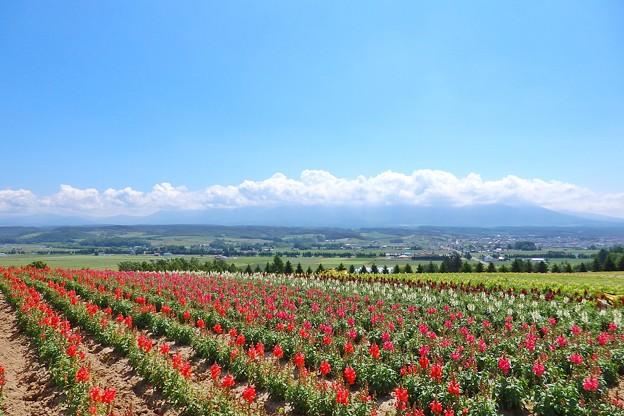 上富良野一望の花畑