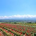 Photos: 上富良野一望の花畑