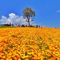 Photos: オレンジポピー