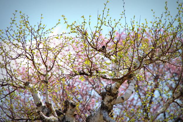 白樺新芽と桜