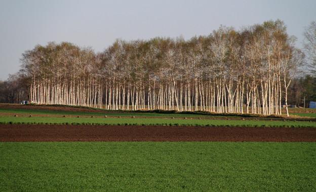 写真: 若木の防風林