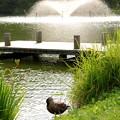 写真: 鴨と噴水