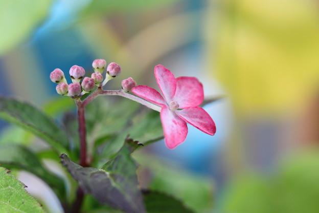 私もガク紫陽花よーー