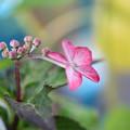 写真: 私もガク紫陽花よーー