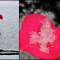 Photos: 雪と薔薇