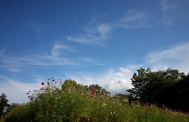 筆雲とコスモス
