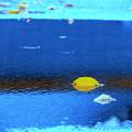 Photos: 枯葉の熱帯魚?
