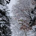 Photos: 白樺が更に白く