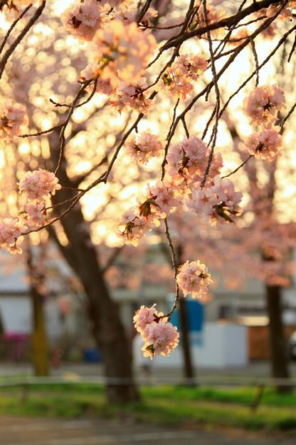 R2、5月3日夕暮れ桜