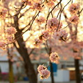 Photos: R2、5月3日夕暮れ桜