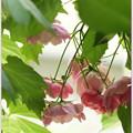 Photos: 蔦と薔薇