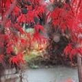 枝垂れ紅葉雨上がり