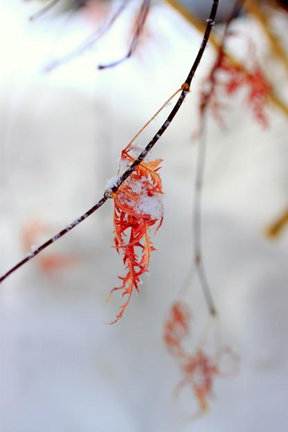 震える紅葉
