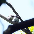 写真: エナガ幼鳥