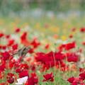 写真: ポピー畑のヒバリ