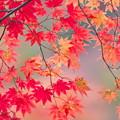 写真: 雨中の紅葉