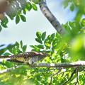 Photos: 赤色型ツツドリ