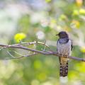 Photos: ツツドリ幼鳥