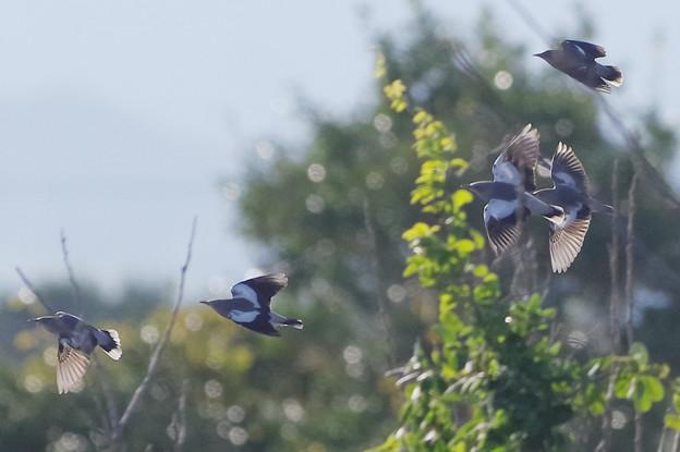 珍鳥カラムクドリ