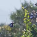 Photos: 珍鳥カラムクドリ