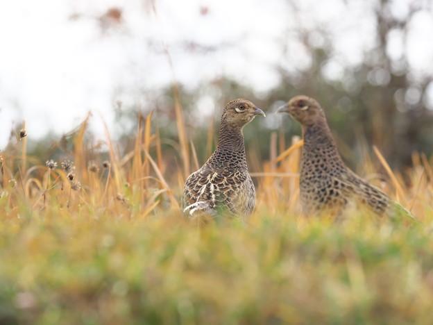 Photos: キジ幼鳥
