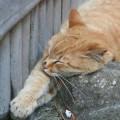 Photos: 昼寝・・・江ノ島のネコ