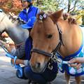 ラッキー_1(17/11/11・東京競馬場)