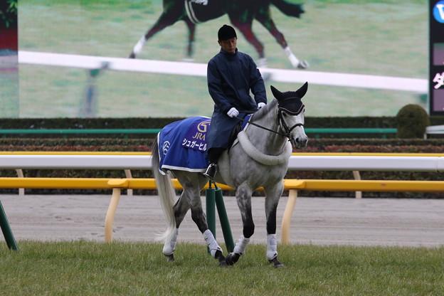 東京競馬場 誘導馬・シュガーヒル_3(17/02/05)