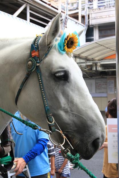 写真: 誘導馬 ミルキー_2(17/08/15・笠松競馬場)
