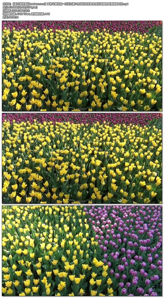 争艳斗美花园一片片五颜六色缤纷色彩郁金香花海植物高清视频实拍