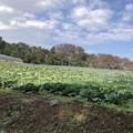 キャベツ畑 畑町