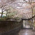 Photos: s4279_仙川の桜