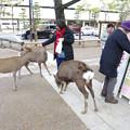 Photos: s3293_奈良公園の鹿たち
