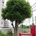 Photos: s5873_はがきの樹_瀬谷郵便局前_t
